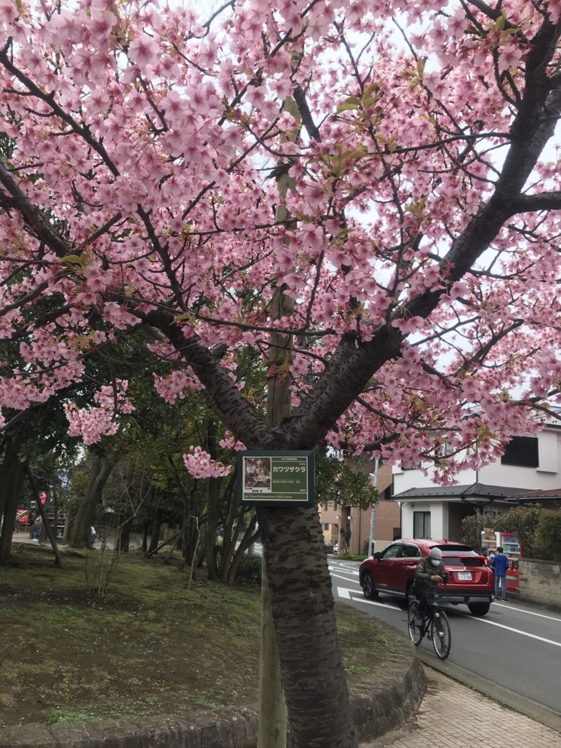 河津桜と雪柳